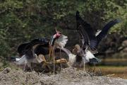 Juvenile Painted Storks (Mycteria leucocephala) Squabble over Fish Just Regurgitated by Parent, Bhar
