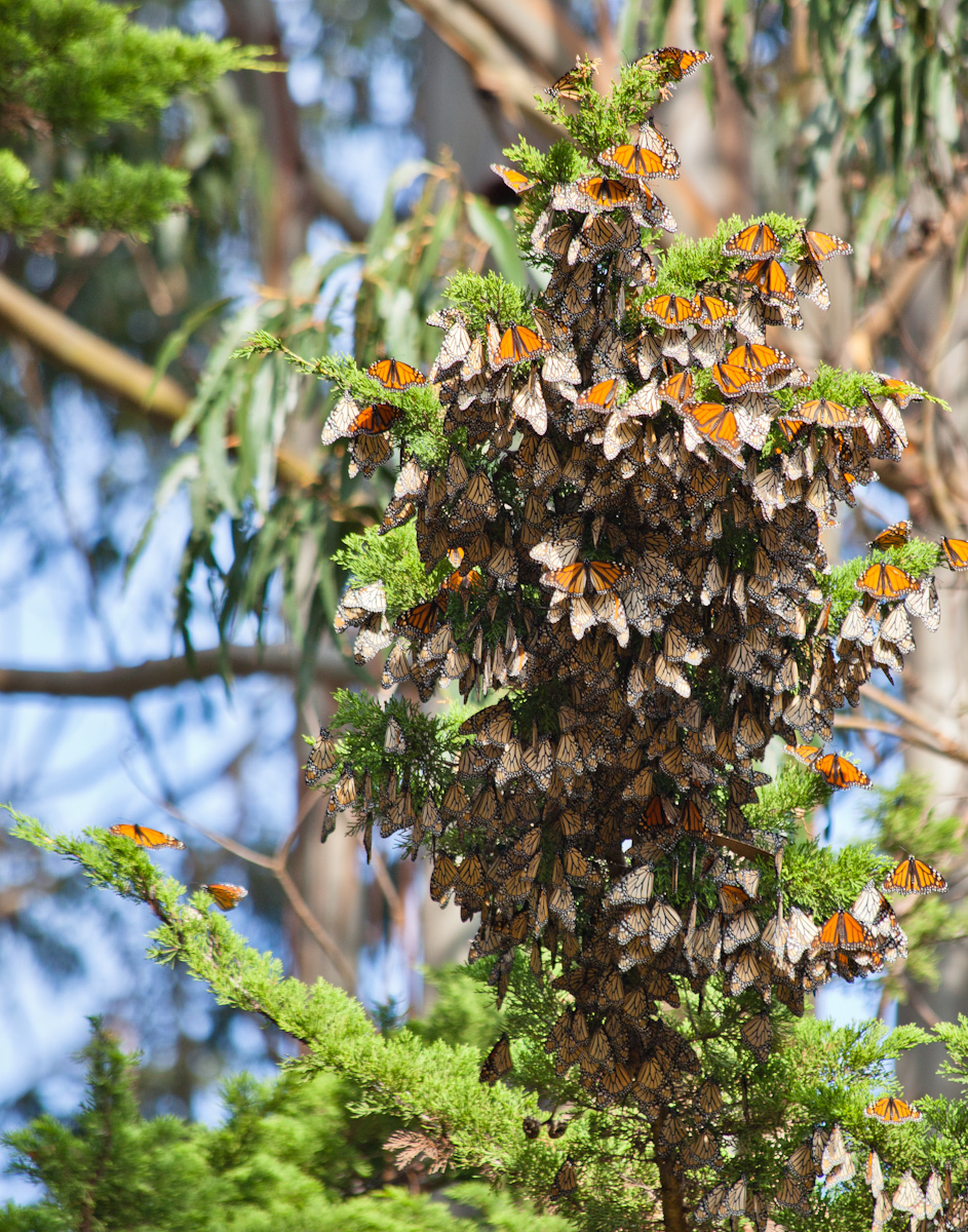 Wintering Cluster of Monarch Butterflies, Lighthouse Field State Beach
