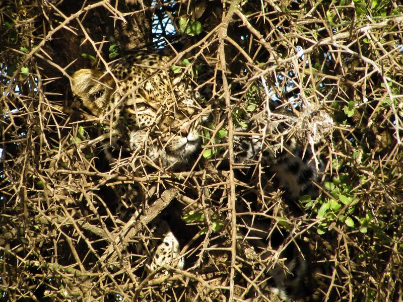 African Leopard (Panthera pardus pardus) hides and rests in Acacia thorn tree in Serengeti