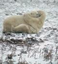 Polar Bears Wrestle on Tundra near Churchill, Manitoba, Ursus maritimus
