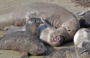 Adult elephant seal (mirounga angustirostris) attempts to mate with reluctant female