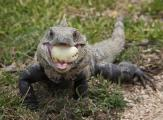 Mexican spiny-tailed iguana (Ctenosaura pectinata) eats a small guava.