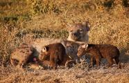 Mother Hyena(Crocuta crocuta) Rolls on Side to Encourage very young Black Cubs to Nurse outside of D