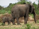 Baby African Elephant (Loxodonta Africana) Stays Close to Mother - Lake Manyara National Park, Tanza