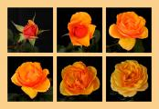 A Yellow -Orange Hybrid Rose Opens