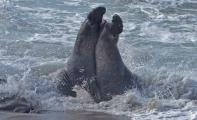 Male Elephant Seals(mirounga augustirostris) battling for breeding rights, Peidras Blancas rookery.