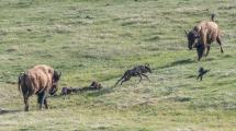 Two BIson (Bison bison) chasing Grey wolf (canis lupus) and Common Raven (Corvus corax) off bison carcass.