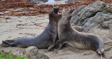 Two Bull Elephant Seals (Mirounga angustirostris) rear up on their foreflippers and fight for dominance.