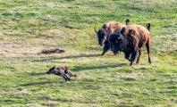 Two Bison (American Bison) chasing Wolf (Canis Lupus) away from bison carcuss.