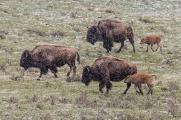 Bison and Calves Marching through Snow