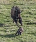 Angry American Bison chasing Grey Wolf in the Lamar Valley Yellowstone National Park