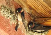 Barn Swallows are building their nests one mouthful of mud at a time