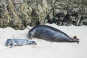 Harbour seals (phoca vitulina) on the beach at Point Lobos.