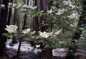 Dogwood in Bloom-Yosemite Nat'l Park