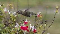 An Anna's Hummingbird (Calypte anna) Feeding On Nectar
