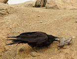 Smart Raven got a certain rock & used it to pry under material for food