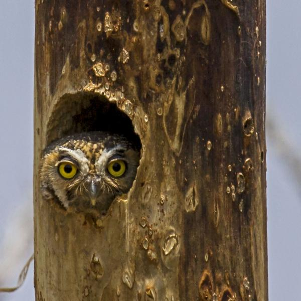Elf Owl (Micrathene whitneyi) - World's Smallest Owl living in a Woodpecker's Cavity in an Agave Stalk, Big Bend, Texas