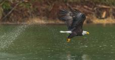 Bald Eagle (Haliaeetus leucocephalius) grabbing fish with it's talons on the Skagit River Washington water droplets show it's flight path
