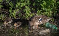 Mother Mallard and two ducklings drink from heavily polluted waterway