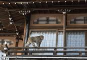 Snow Monkey walks the balcony rails in Shibu Onsen, Japan