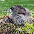 A Pied-billed grebe chick (Podilymbus podiceps )begs for food from its parent