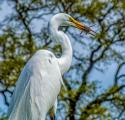 Great Egret (Atdea alba) looking eye to eye with fresh caught prey,