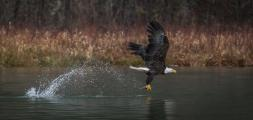 Bald Eagle (Haliaeetus leucocephalius) flying off with it's catch on the Skagit River Washington