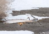Japanese Crane in pursuit of a red fox, Hokkaido, Japan