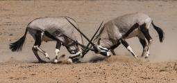 Two Oryx (Oryx gazelle) Sparring, Kalahari Desert, South Africa