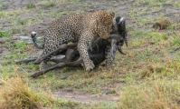 Leopard (Panthera pardus) dragging it's catch a Wildebeest(connochaetes taurinus) out of the river bed.