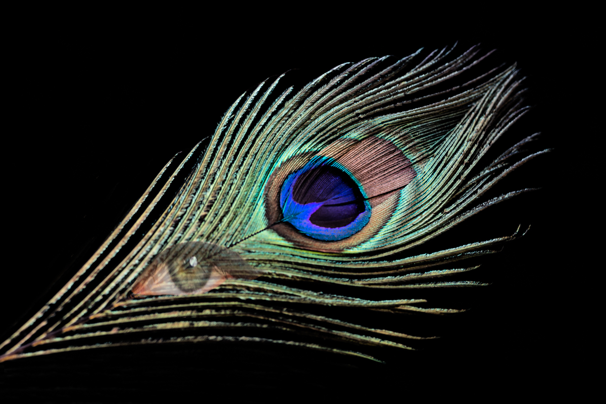 Eye of the Peacock