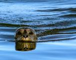 Harbor seals detect hydrodynamic trails in water with their sensitive whiskers allowing them to easily track passing fish even in the most turbid conditions.