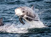 A Risso's dolphin (Grampus griseus) leaps from the waters of the Monterey Bay