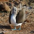 Blue-footed Booby (Sula nebouxii) in Mating Dance