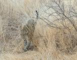 Leopard (Panthera pardus) slinking through the grass looking for it's next meal in Samburu National Reserve Kenya