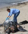 MMC Volunteer documents beached Leatherback Turtle at Pescadero Beach