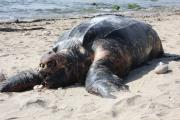 Beached Leatherback Turtle