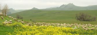 Sheep & Mustard, Napa Valley