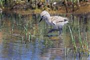 American Avocet Chick Checks Out Shallows at Palo Alto Baylands