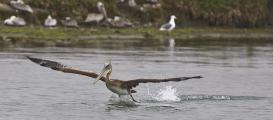 Brown Pelican  (Pelecanus occidentalis) taking off , Elkhorn Slough, Moss Landing