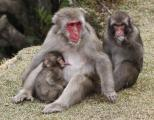 Japanese Macaque Monkey ( Macada fuscata) feeding her baby, Kyoto, Japan