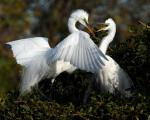 Great Egrets (Casmerodius albus) adding twig to their nest