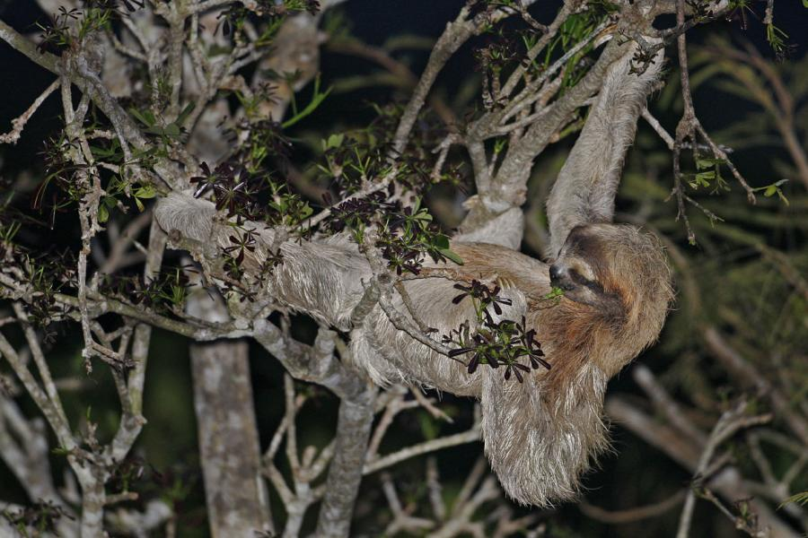 Brown-throated Three-toed Sloth (Bradypus variegatus) Eating in the High Canopy, Panama
