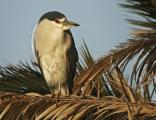 Black Crowned Night Heron Watches from Nesting Tree (Nycticorax nycticorax)