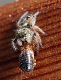 Jumping Spider eating termite