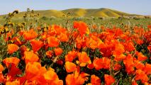 Poppys and Hills of Gold