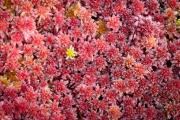 Sphagnum mosses form colorful carpet in peat bog