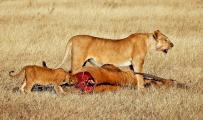 Lioness Stands Guard over Recent Kill-Cub Tastes Raw Meat