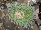 Rarely Seen-Spawning Giant Green Anemon(Anthopleura xanthogrammica)Fitzgerald Marine Reserve