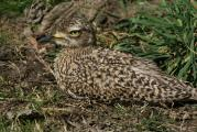 Camouflaged African Cape Thick-Knee
